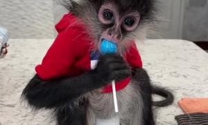Monkey Eats Lollipop Like a Kid
