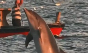 Dolphins leap during beautiful sunset in the Marmara Sea