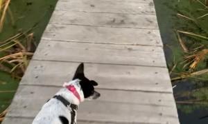 Dog Mistakes Algae for Grass, Walks Headfirst off Dock