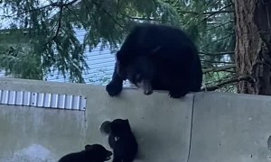 Dramatic Baby Bear Struggles To Climb Barrier