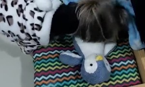 Yorkie Shows Off His Nightly Routine