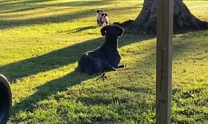 Great Dane Accidentally Scares Neighbor Puppies