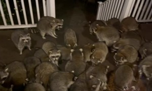 Horde of Raccoons Swarms Porch