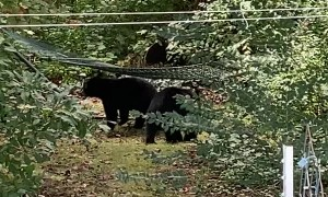 Mama Bear Relaxes While Cubs Play in Hammock