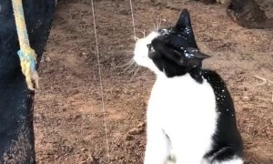 Cat Drinks Milk Straight From the Udder