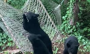 Hammock Confuses Curious Bear Cubs
