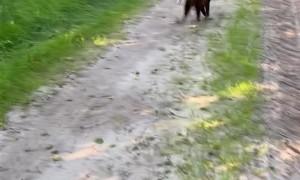 Playful Alpacas Get Tripped Up