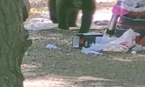 2-Year-Old Bear Cub Calls Campers Bluff
