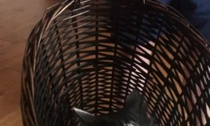 Cat Loves Swinging in Laundry Basket