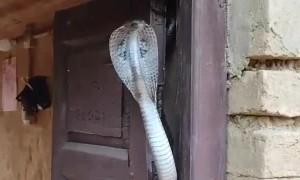 Cobra Settles in Doorway