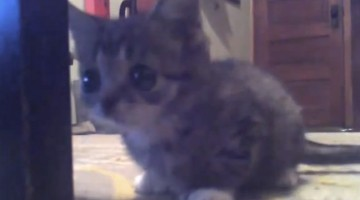 Adorable Footage Of The \'Perma-Kitten\'. A Cat that never grows out of its kitten phase