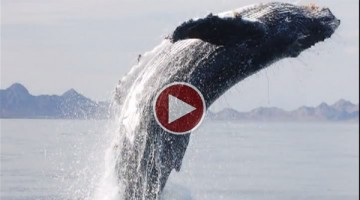 Watch This Incredible Video Of A Whale Showing Its Appreciation For Being Saved From A Net