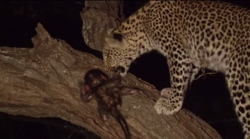 Watch how Leopard kills mother but protects her little baby