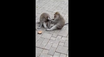 Monkey patiently cleans little brother's face in Bali, Indonesia