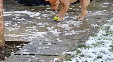 Dog Confused by Tennis Ball Frozen to the Ground