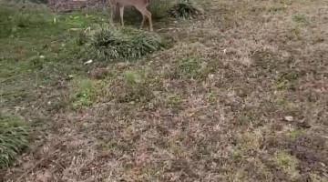Young Fawn Bounds alongside Canine Pals