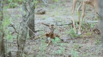 Tiny Newborn Impala Attempts First Steps On Its Wobbly Legs