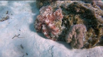 Stealthy Octopus Camouflages on Rock