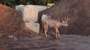 Deer Chase Foxes in Alberta