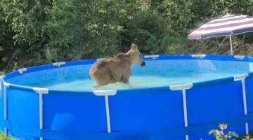 Wild Neighbors Drop By to Use Backyard Pool