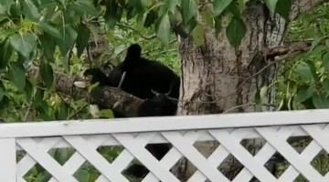 Black Bear Climbs Tree to Protect Her Cubs