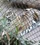 Tiger Approaches Man Climbing Barrier