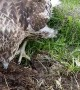Man Helps Hawk Hunt for Grub