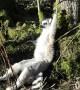 UK zoo lemurs enjoy February heatwave
