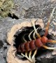 Giant Centipede Climbs into Nest