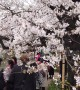 "Cherry blossom or ""Sakura"" peaks in Japan at Imperial Palace"