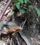 Huge frog eaten by tiny garter snake