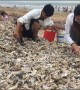 Local citizens collect oysters blown onto beach by typhoon Lekima in China