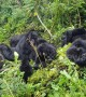This family of wild mountain gorillas is too cute