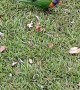 Meat Eating Lorikeets Steal Kookaburra's Meal