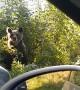 Bears Scared Away From Stealing Roadside Lunch