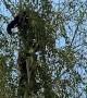 Bear Cubs Playing in South Lake Tahoe