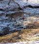 Saving a Deer Stuck in an Antler Lock