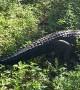 Alligator Blocks Motorcyclists Path
