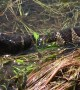 Water Snake Enjoys Catfish for Lunch