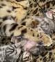 Cute Chubby Baby Bengal Kittens